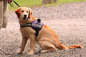 Guide dog in harness at a park